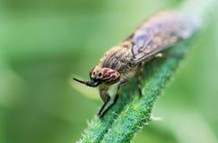 Cleg Entaille-à cornes ou mouche de cleg (pluvialis de Haematopota) photographie stock libre de droits