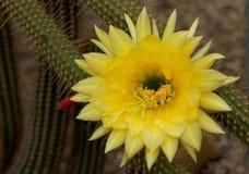 Cleistocactus Borzicactus icosagonus zdjęcie stock