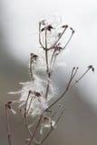 Clemátide afiligranada Imagen de archivo