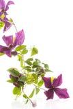 Clemátide floreciente hermosa Imagen de archivo libre de regalías