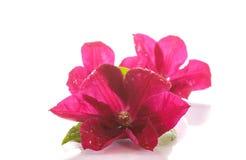 Clemátide floreciente hermosa Imagen de archivo