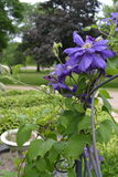 Clemátide púrpura en Minnesota Imagen de archivo libre de regalías