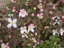 Clemátide rosada en Crookham Northumerland, Inglaterra Reino Unido Foto de archivo libre de regalías