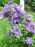 Clemantis blomma på en spaljé Royaltyfria Bilder