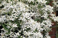 Clematide bianca di fioritura con la farfalla immagine stock