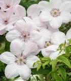 Clematide bianca John Paul II, lotto dei fiori Fotografie Stock