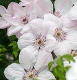 Clematide bianca John Paul II, lotto dei fiori Fotografia Stock Libera da Diritti