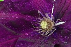 Clematide del fiore Fotografia Stock