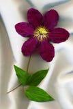 Clematide del fiore immagine stock libera da diritti