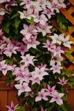 Clematide di fioritura Immagini Stock