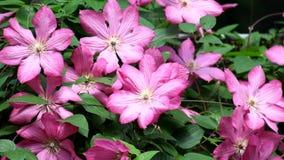 Clematide di fioritura Le mosche sorvola i fiori porpora delle clematidi video d archivio