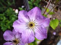 Clematis λουλουδιών κήπων Στοκ Εικόνες