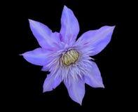 Clematis 17 λουλουδιών Στοκ φωτογραφία με δικαίωμα ελεύθερης χρήσης