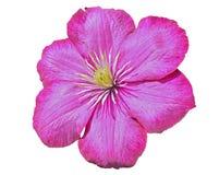 Clematis 18 λουλουδιών Στοκ Φωτογραφία