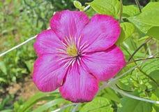 Clematis 17 λουλουδιών Στοκ εικόνα με δικαίωμα ελεύθερης χρήσης