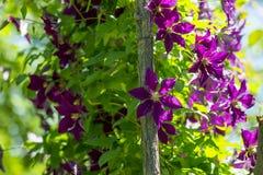 Clematis στήλη κήπων στοκ εικόνα