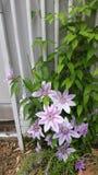 clematis весны зацветая стоковая фотография