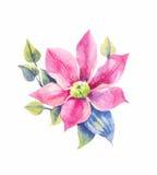 Clematis, тропический цветок в акварели Стоковое фото RF