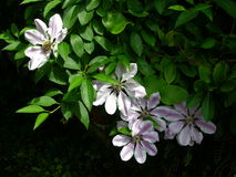 Clematis 1. Clematis 'Nelly Moser', New Tupton, Derbyshire, UK royalty free stock photography