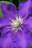 Clematis Stock Photos