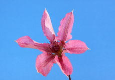 Clematis. Pink clematis flower on a blue background Royalty Free Stock Image