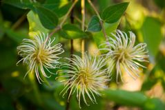 Clematis Royalty Free Stock Photos
