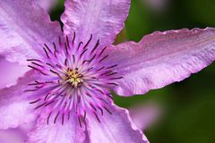 Clematis fotos de stock