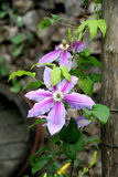 Clematis Immagine Stock