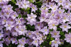 Clematis Royalty Free Stock Photo