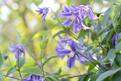 Clematis Royalty Free Stock Photography