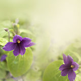 Clematis Obrazy Stock