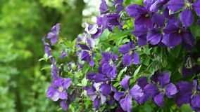 Clematis stock footage