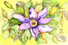 clematis Obrazy Royalty Free