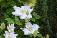 clematis Royaltyfria Foton