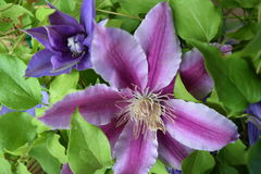 2 Clematis Obrazy Royalty Free