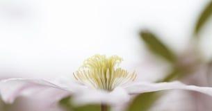 clematis Royaltyfri Fotografi