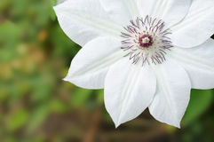 Clematis Stock Image
