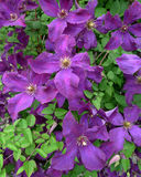 Clematis. Violet clematis flowering in the summer Stock Photos