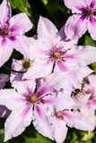 Clematis alpina. Growing and blooming in Garden. Summertime flowers Royalty Free Stock Photography