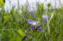 Clematis alpina in bloom in italian mountains Alps. Clematis alpina flowers in bloom in italian mountains Alps, creeping wild plant Royalty Free Stock Photography