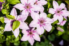 Clematis alpina. Growing and blooming in Garden. Summertime flowers Stock Image