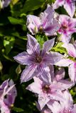 Clematis alpina. Growing and blooming in Garden. Summertime flowers Royalty Free Stock Image