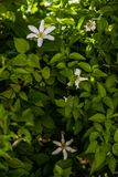 Clematis alpina. Growing and blooming in Garden. Summertime flowers Royalty Free Stock Photos