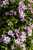 Clematis alpina. Growing and blooming in Garden. Summertime flowers Stock Photo