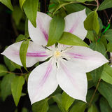 Clematis Andromeda Flower on the Vine Stock Photo
