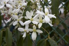 Free Clematis Armandii In Bloom Stock Photography - 180092672
