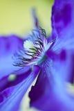 Clematis azul Imagens de Stock Royalty Free
