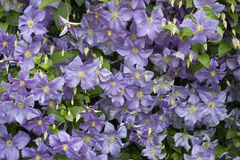 Clematis background Royalty Free Stock Photography