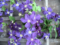 Clematis On Barn. Purple and blue clematis climb on worn, old wood barn Royalty Free Stock Photos