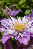 Clematis. The beautiful clematis is blooming with startling colors in my summer garden Stock Photography
